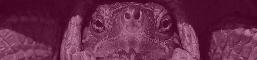 Gesicht einer Turtel